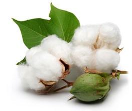 Baumwollkernöl: Eigenschaften, Anwendung, Bewertung